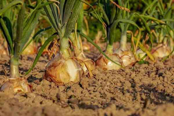onion in garden