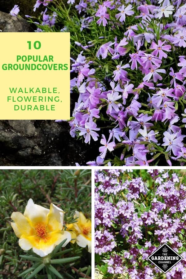 creeping phlox thyme moss flower with text overlay ten popular groundcovers walkable flowering durable