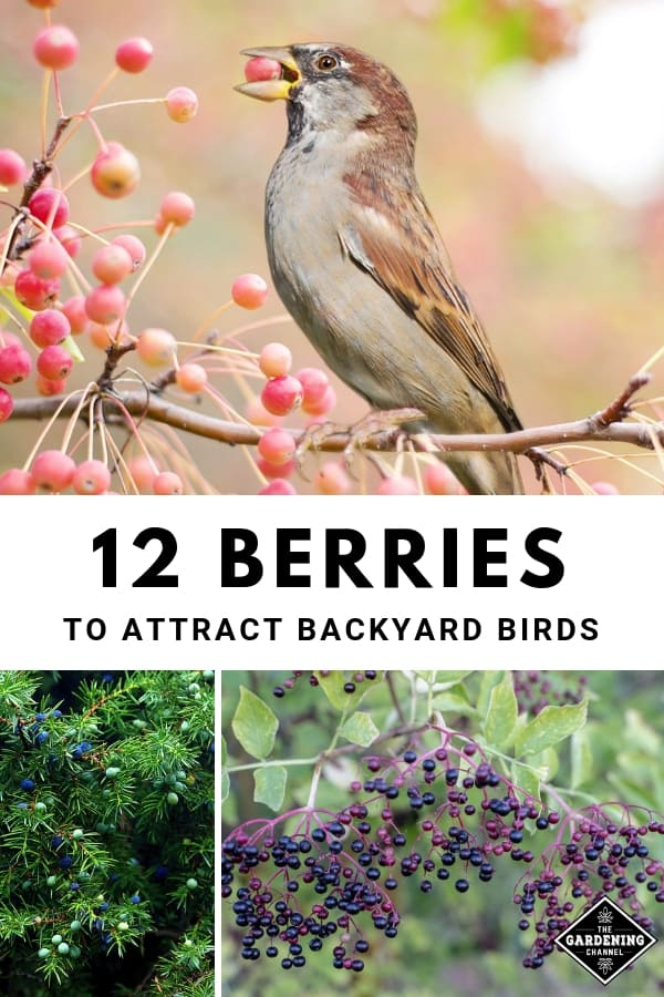 bird eating berry juniper elderberry with text overlay twelve berries to attract backyard birds