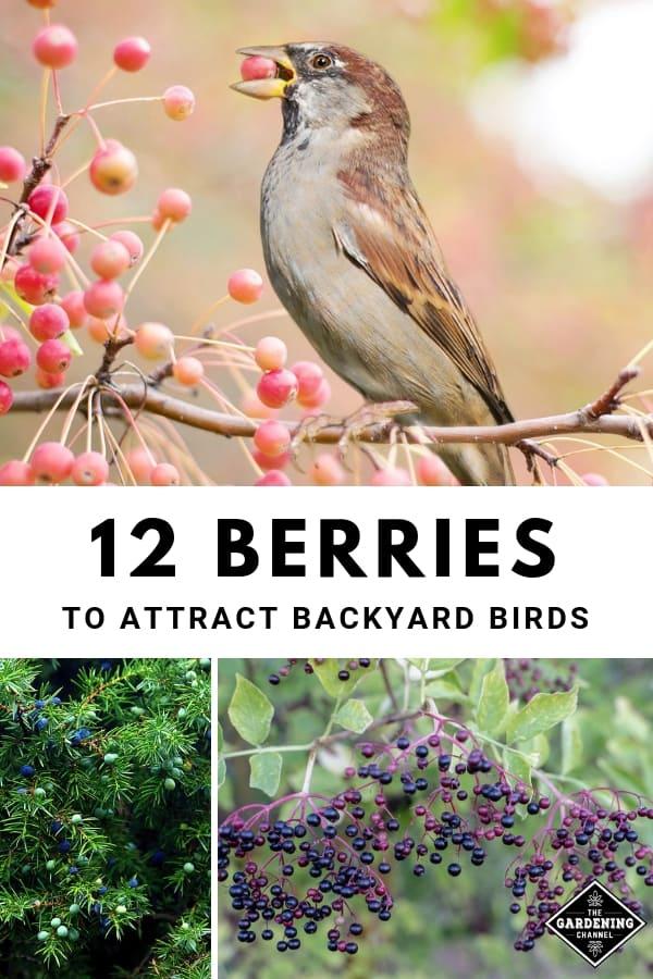 bird eating berry juniper elderberry with text overlay twelve berries to attract backyard birds