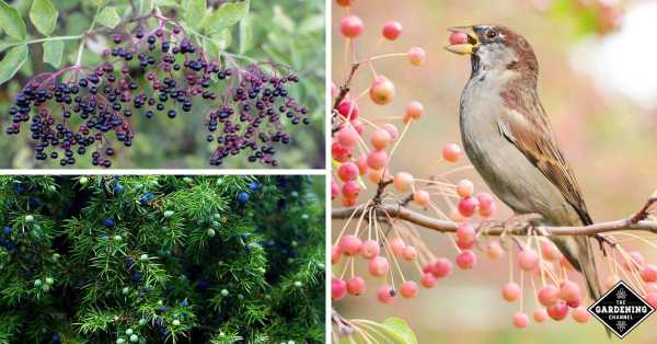 berries to attract backyard birds