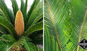 growing sago palm