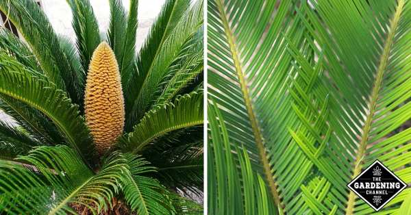 growing sago palm