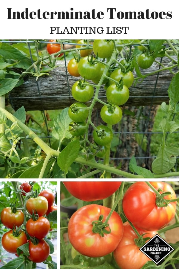 vine tomatoes in the garden with text overlay indeterminate tomatoes planting list