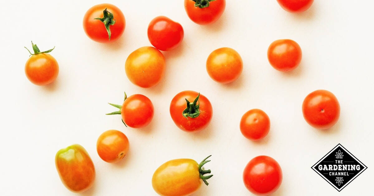 15 SEEDS Giant and very sweet!! TOMATO PINEAPPLE