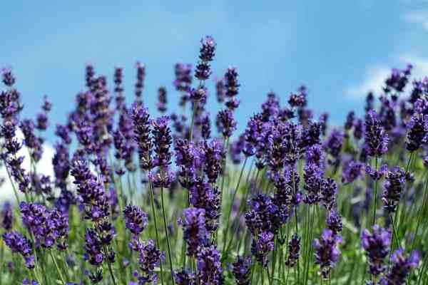 lavender fragrant sensory garden