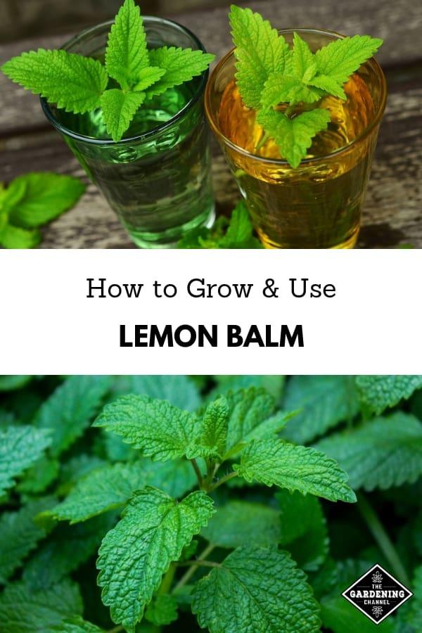 lemon balm herbal tea and lemon balm plant with text overlay how to grow and use lemon balm
