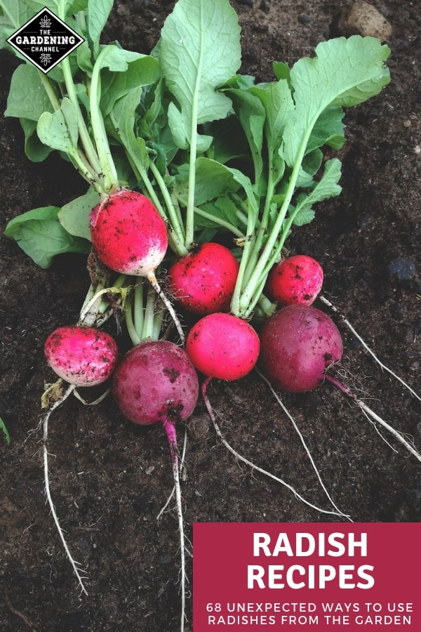 harvested garden radishes with text overlay radish recipes sixty eight unexpected ways to use radishes from the garden