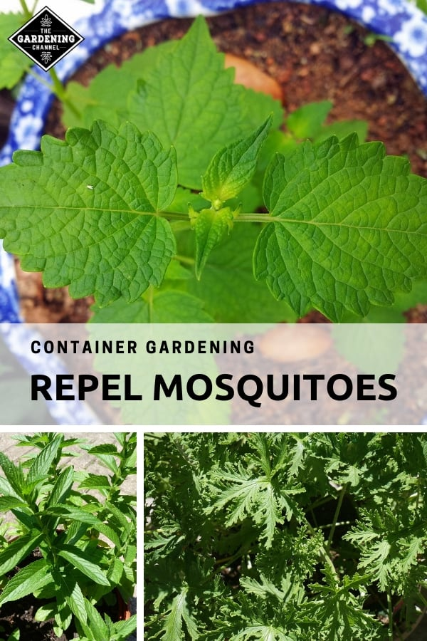 mint citronella with text overlay container gardening repel mosquitoes