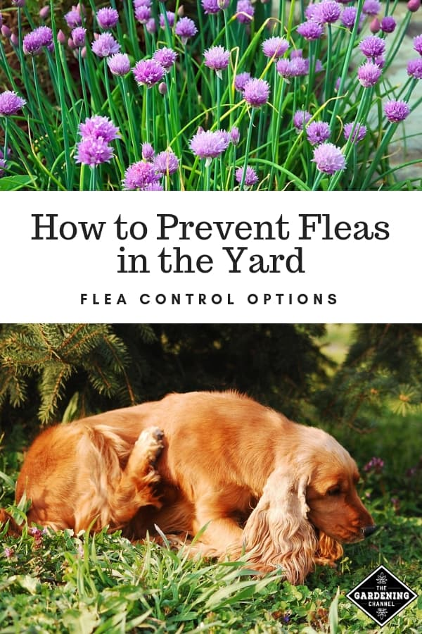 chives dog scratching with text overlay how to prevent fleas in the yard flea control options