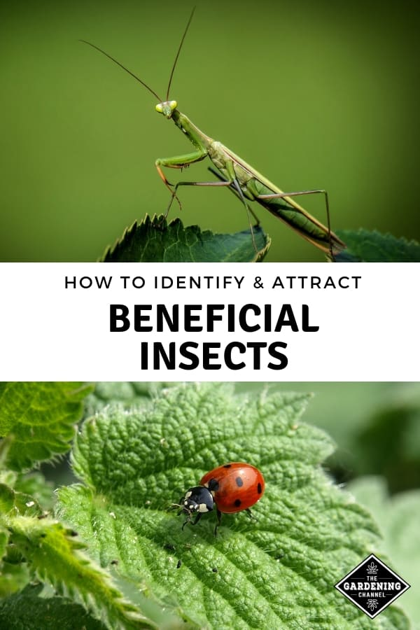 praying mantis lady bug with text overlay how to identify and attract beneficial insects