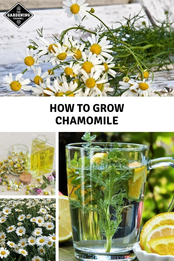 harvested chamomile and chamomile oil and tea with text overlay how to grow chamomile