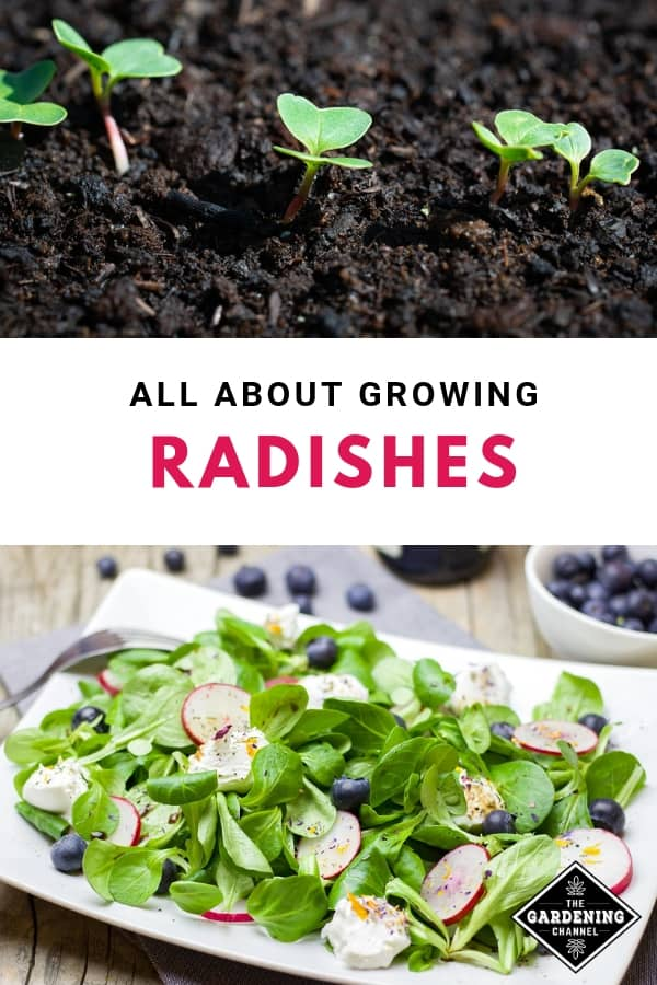 radish seedling and radish salad with text overlay all about growing radishes