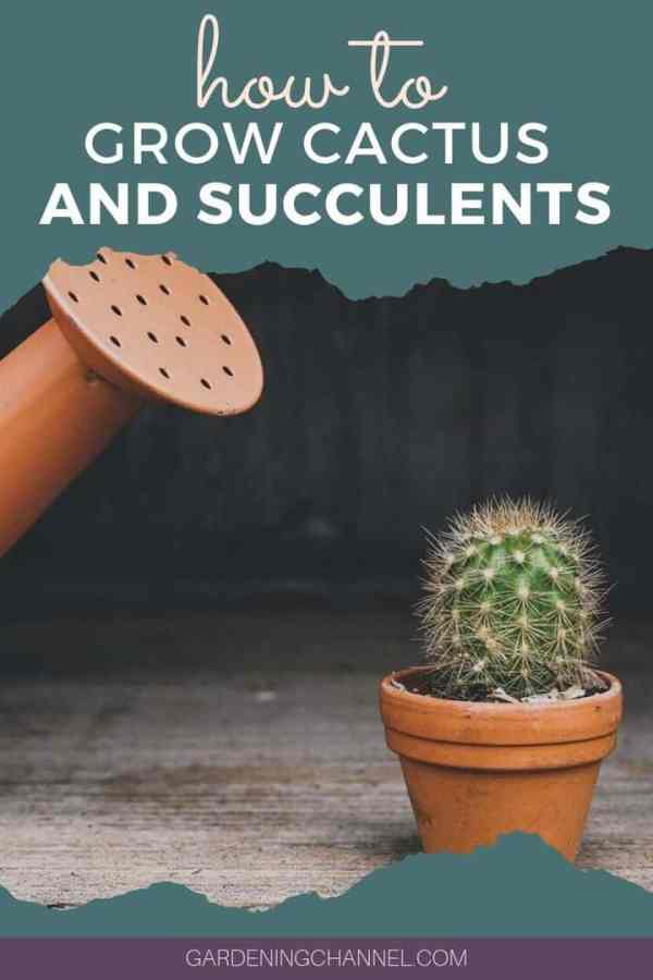 cactus with watering can with text overlay how to grow cactus and succulents