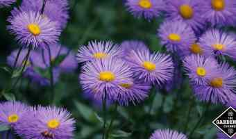 growing asters