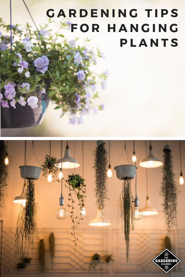 hanging baskets and hanging plants with text overlay gardneing tips for hanging plants