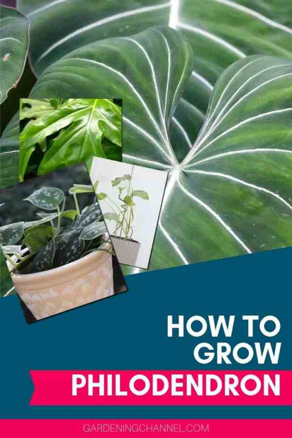 varieties of philodendron with text overlay how to grow philodendron