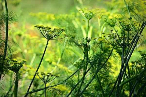 Anis flowering