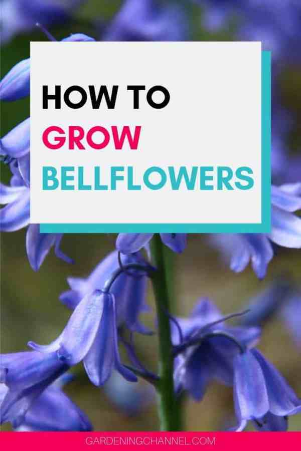 bellflowers with text overlay how to grow bellflowers