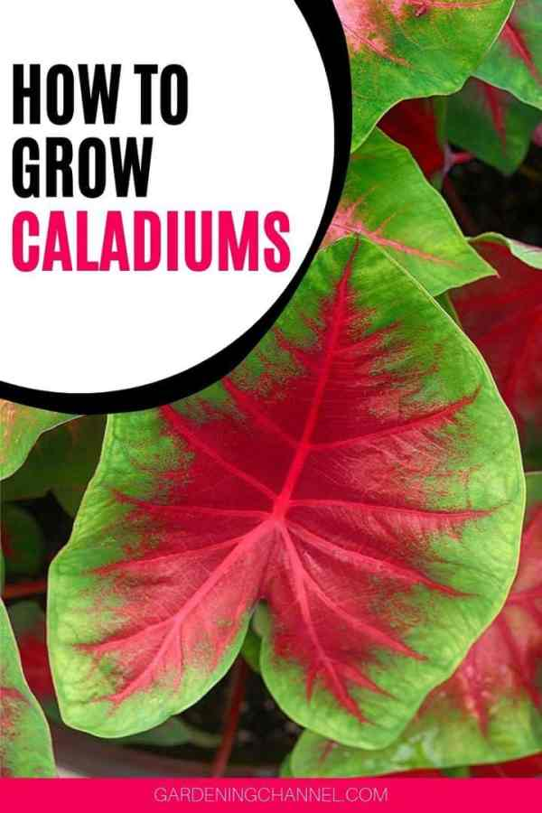 elephant ear plant with text overlay how to grow caladiums