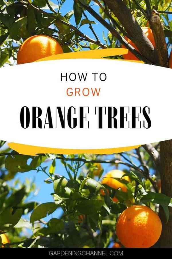 oranges on tree with text overlay how to grow orange tree