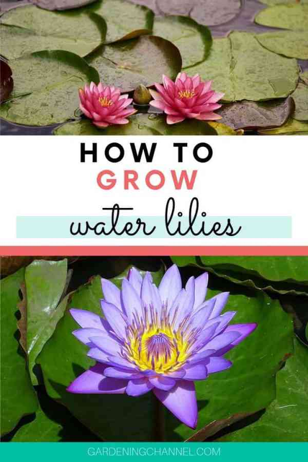 pink purple water lilies with text overlay how to grow water lilies