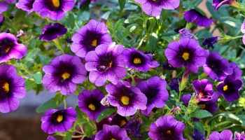 How To Grow Petunias Gardening Channel