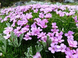growing catchfly