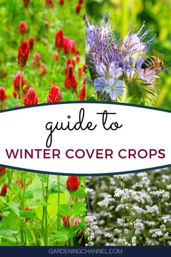 Buckwheat clover Phacelia with text overlay guide to winter cover crops