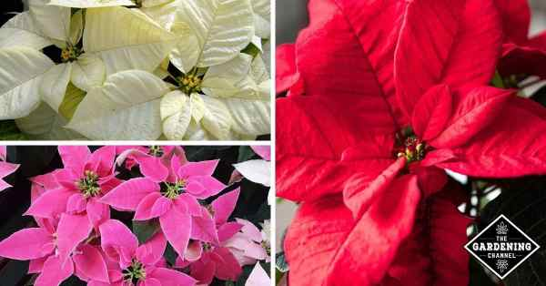 poinsettia care top questions answered