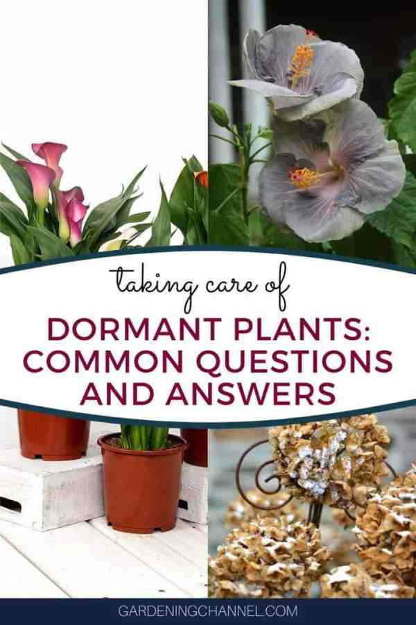 calla dormant plant hibiscus with text overlay taking care of dormant plants common questions and answers