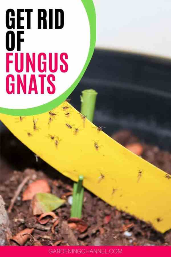 fungas gnat on yellow sticky tape with text overlay get rid of fungus gnats