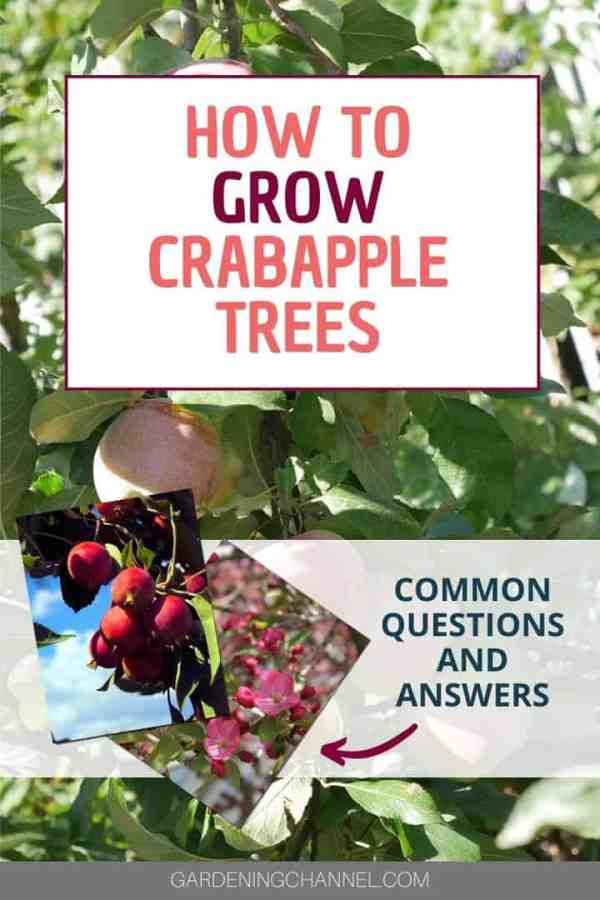 crabapples and crabapple flowers with text overlay how to grow crabapple trees common questions and answers