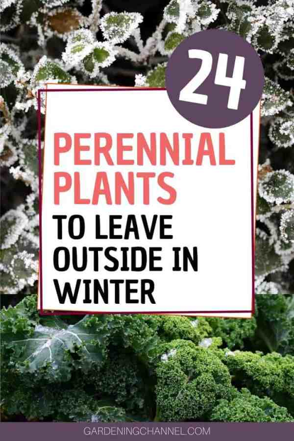 winter kale ligustrum with text overlay twenty four perennial plants to leave outside in winter