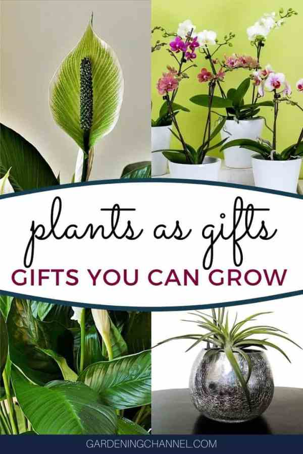 peace lily orchids air plant with text overlay plants as gifts gifts you can grow