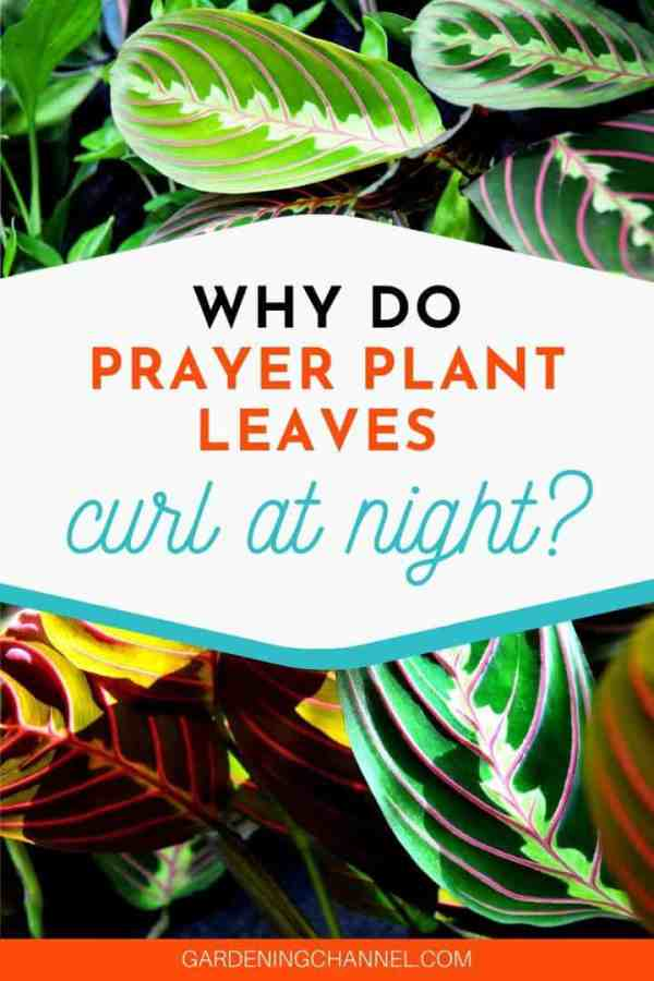 prayer plants with text overlay why do prayer plant leaves curl at night