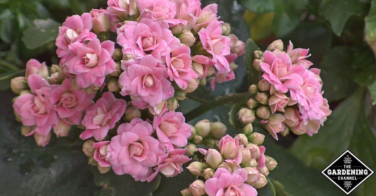 How To Grow Kalanchoe Kalanchoe Blossfeldiana Gardening Channel