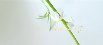Chlorophytum comosum popular houseplant