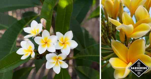 how to grow plumeria