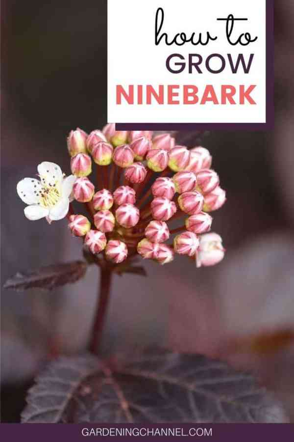 ninebark with text overlay how to grow ninebark