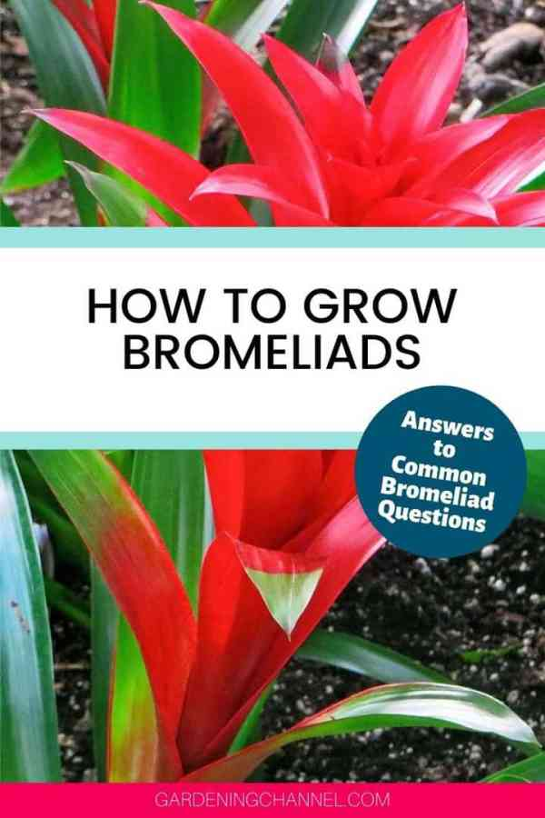 red Bromeliad with text overlay how to grow Bromeliads answers to common Bromeliad questions