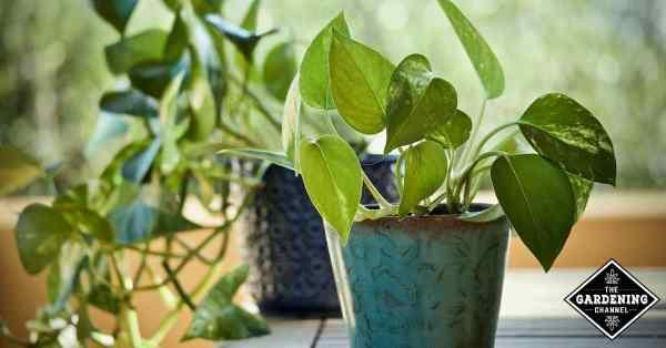 growing pothos devils ivy