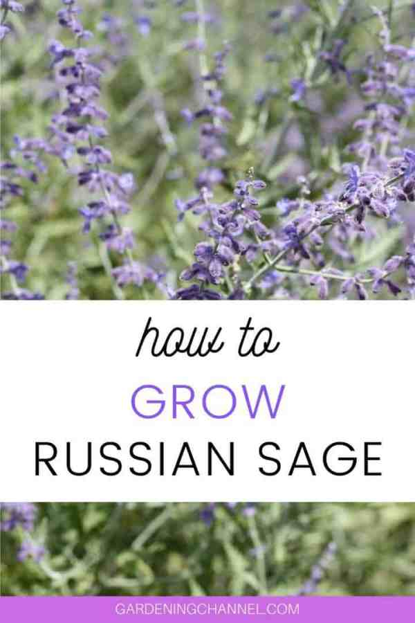 Russian Sage with text overlay how to grow Russian sage