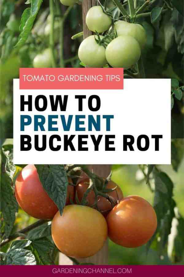 tomato stakes and plants with text overlay tomato gardening tips how to prevent buckeye rot