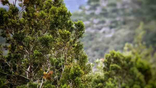 Texas cedar tree