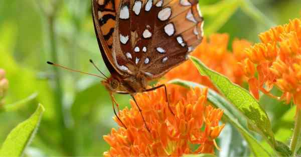 growing butterfly weed
