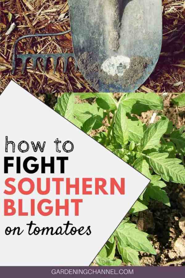 garden tools tomato plant with text overlay how to fight southern blight on tomatoes