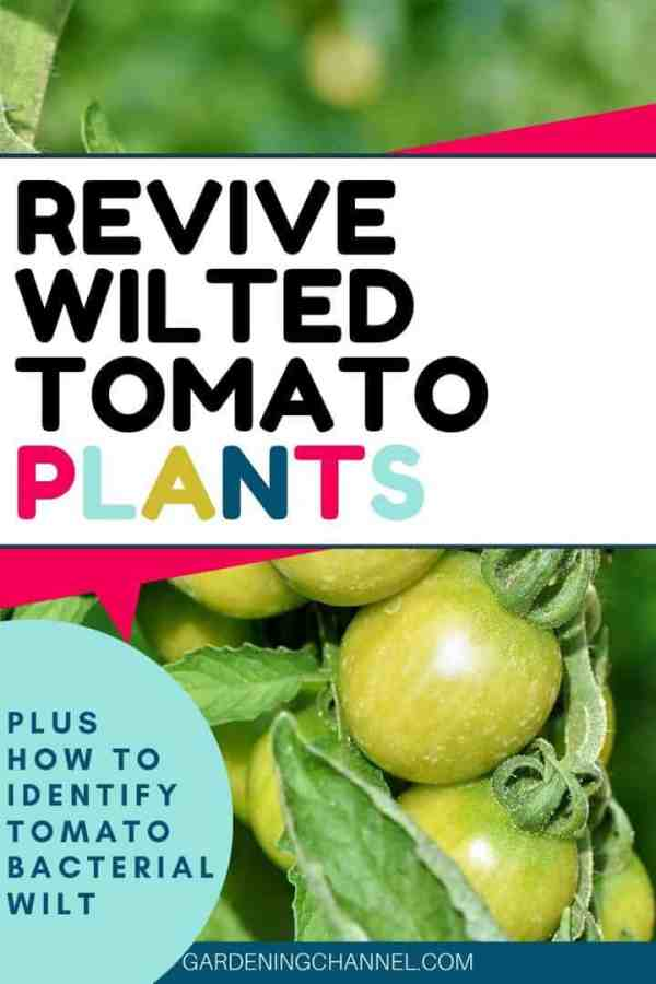 wilting tomato plant with text overlay revive wilted tomato plants plus how to identify tomato bacterial wilt