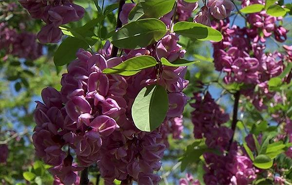 Purple Robe Black Locust