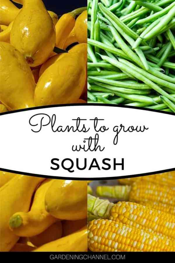 squash beans corn with text overlay plants to grow with squash